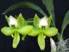 Cycnoches warscewiczii 'Giant Swan' x 'SVO' - Sunset Valley Orchids