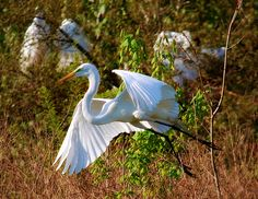 Egret via gghiker/Flickr.  My favorite bird.  Lucky to live by the bay, they're everywhere!