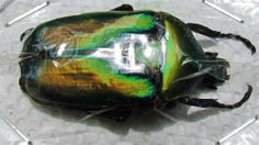 Flower Beetle Rhomborrhina resplendens chatanayi Gold Form FAST SHIP FROM USA