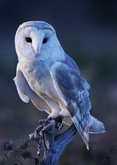 Beautiful blue tinted barn owl. <3