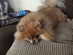 My little Pom is cute as a button , her poor me face