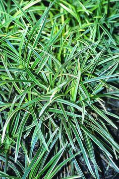"White Dragon Light Mondo Grass for sale buy Ophiopogon 'Haku ryu Ko', -8"" wide, 6"" tall"