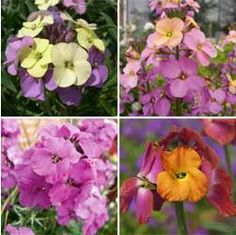 Wallflower (Erysimum) - long-blooming perennials growing high and wide. Many varieties to choose from. Long Blooming Perennials, Sun Perennials, Plants For Small Gardens, Biennial Plants, Perennials Fabric, Trees And Shrubs, Best Friend Gifts, Flower Wall, Pretty Flowers