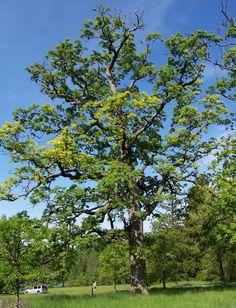 White Oak at The Morton Arboretum