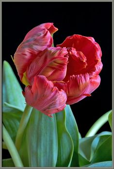 A close-up view of two 'parrot tulips'