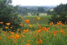 Vineyard, Willamette Valley, Oregon