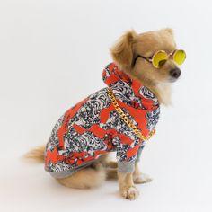Bengal Shiba Inu, Bengal, Poodle, Chihuahua, Blue Dog, Flare, Poodles, Chihuahua Dogs, Bengal Cats