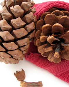 Gymnosperms are coniferous trees that reproduces using pine cones to spread seeds. Check out this simple pine cone experiment to learn about the process! Pinecone Crafts Kids, Pine Cone Crafts, Crafts For Kids, Kids Diy, Science Activities For Kids, Science Fair Projects, Montessori Science, Science Ideas, Art Projects