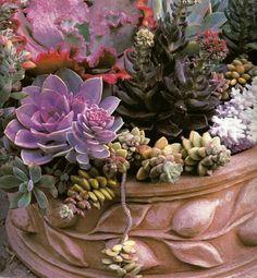 succulent plantings...featuring the very dark Echeveria 'Black Prince'