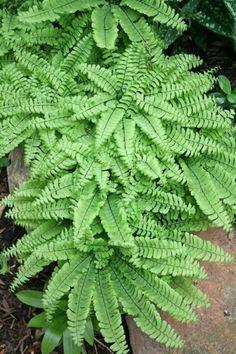 Dwarf Western Maidenhair Fern (Adiantum aleuticum 'Imbricatum') forms a clump just 10 inches high.
