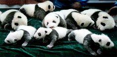 熊猫 : ぽむぽむ!パンダの癒し系画像集 GIANTPANDA☆^∇゜)画像集 - NAVER まとめ