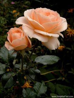 'Amber Abundance ' Rose