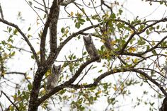 Southern white-faced scops owls