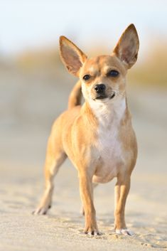 chihuahua sundown evening beach dog the on at a A dog on the beach at sundown eveningYou can find Chihuahua dogs and more on our website Chihuahua Facts, Cute Chihuahua, Chihuahua Puppies, Cute Puppies, Cute Dogs, Dogs And Puppies, Chihuahuas, Awesome Dogs, Doggies