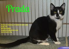 This cat is available to rescue, foster or adopt. If you are interested   in this animal, please begin by filling out our online application  which  can be accessed through our website at www.hsccl.org and we will   contact you. Find us on Facebook...