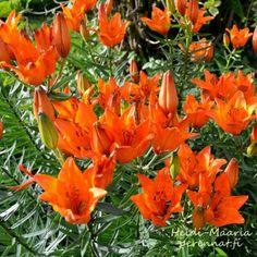 Perinneperennat Ruskolilja (keisarinkruunu) LILIUM bulbiferum Helppohoitoinen maatiasperenna