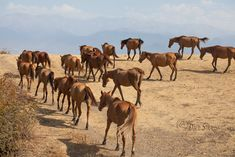 Horses of Azerbaijan Animals And Pets, Camel, Horses, Pets, Camels, Horse, Bactrian Camel