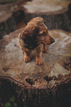.dachshund.