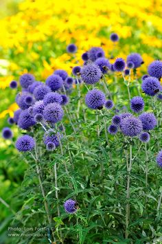Echinops ruthenicus 'Veitch's Blue' | Torktålig, storvuxen perenn med kraftigt silvergrått bladverk. Den runda tistelliknande blomman är klarblå. Blomningstid aug-sep. Höjd ca 80 cm. Trivs bäst i soligt läge på lätt, väldränerad jord men klarar de flesta jordar. All Flowers Name, Flower Names, Blue Flowers, Garden Landscape Design, Garden Landscaping, Outdoor Retreat, Shrubs, Perennials, Outdoor Gardens
