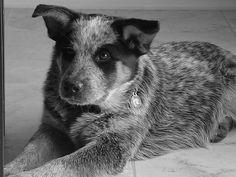 Australian Cattle Dog - Blue Heeler Puppy - Shadow
