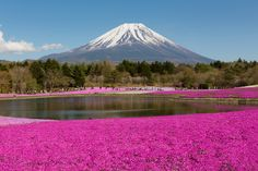 Fuji Shibazakura Flower Festival in Japan  Shibazakura, or pink moss, is a gorgeous flower that blooms in brilliant shades of magenta, white and pink. The Fuji Shibazakura Flower Festival offers stunning views with Mount Fugi in the background, and a picturesque lake surrounded by vibrant rows of endless pink moss. The best time to visit is between mid May and the beginning of June.