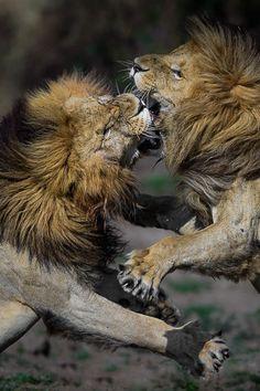 Fighting Lions by David Lloyd
