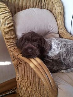 German Wirehaired Pointer - with one eye wide open and the other wide shut.