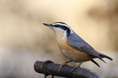 Red-breasted Nuthatch Nuthatches, Birds, Red, Animals, Animales, Animaux, Bird, Animal, Animais
