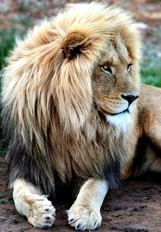 Majestic Looking African Male Lion! He Sees Something Interesting. Love the Two-Tone Colors in His Mane.