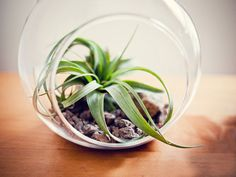 Air plants are perfect low-maintenance option for the home or garden. Learn how to care for air plants with these growing, watering and lighting tips.data-pin-do= Air Plants Care, Plant Care, Best Office Plants, Outside Plants, Air Plant Terrarium, Terrarium Diy, Low Maintenance Plants, Cactus Decor, Living At Home