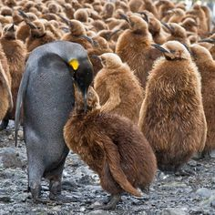 A black king penguin feeds its chick at Fortuna Harbour on South Georgia Island. Wildlife photographer Michael Nolan travelled to the Antarctic to capture the penguin breeding colonies when he came across this rare black male penguin...