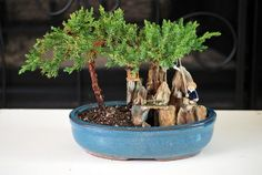 9GreenBox  BONSAI Juniper Tree Zen Garden With Pool Fishman * You can find more details by visiting the image link.