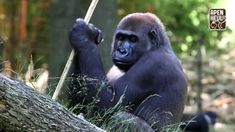IJsjes voor de gorilla's