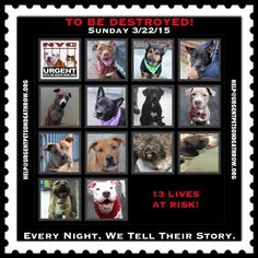 TO BE DESTROYED: 13 beautiful dogs to be euthanized by NYC ACC- SUN 3/22/15. This is a VERY HIGH KILL shelter group. YOU may be the only hope for these pups! ****PLEASE SHARE EVERYWHERE!To rescue a Death Row Dog, Please read this:  http://urgentpetsondeathrow.org/must-read/  To view the full album, please click here:  https://www.facebook.com/media/set/?set=a.611290788883804.1073741851.152876678058553&type=3
