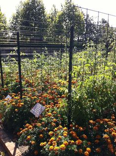 Heirloom tomatoes are trained up cattle panels and interplanted heavily with marigolds as a living mulch. #chicagobotanic