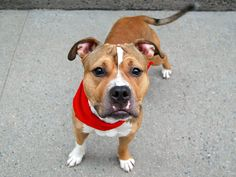 Manhattan Center SHORTY – A1084606 **SAFER: EXPERIENCED HOME** MALE, TAN / WHITE, PIT BULL MIX, 1 yr STRAY – ONHOLDHERE, HOLD FOR ID Reason STRAY Intake condition EXAM REQ Intake Date 08/07/2016, From NY 10035, DueOut Date 08/07/2016,