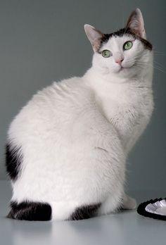 Кошка японский бобтейл: фото, описание породы