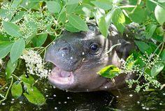 filhote de hipopótamo