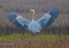 This blue heron is adding some color to a foggy day! Galveston Texas, Galveston Island, Heron Tattoo, Blue Heron, Body Mods, Nature, Bird, Bugs Bunny, Animals