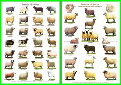 A4 Laminated Posters.Breeds of Sheep 2 different posters