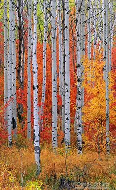Rocky Mountain Maple and aspen trees in the Wasatch Mountains of Utah; photo by .David Schultz
