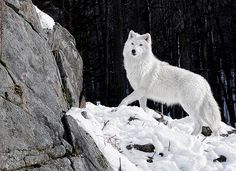 Arctic Wolf Portrait Beautiful things of nature