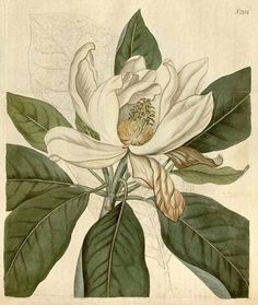 Magnolia virginiana L. var. major [as Magnolia glauca (L.) L. var. major] bay sweet, swamp bay, sweet bay Curtis's Botanical Magazine, vol. ...