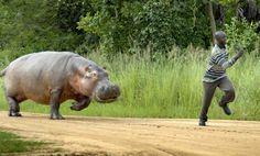 Scène incongrue dans le Parc National de Murchison, en Ouganda, où un hippopotame charge un visiteur un peu trop importun. Ce mastodonte végétarien est considéré comme l'un des animaux les plus agressifs.