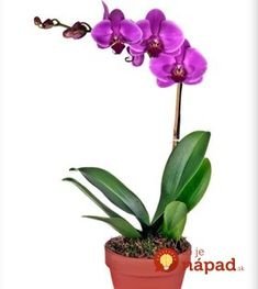 Plant Care: Bulbs and Orchids Elegant Flowers, Beautiful Flowers, Lavender Potted Plant, Plants By Post, Phalaenopsis Orchid, Moth Orchid, Purple Orchids, Plant Basket, Fruit In Season