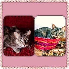 Marlton, NJ - Domestic Shorthair. Meet Tee-tee, a cat for adoption. http://www.adoptapet.com/pet/8944352-marlton-new-jersey-cat