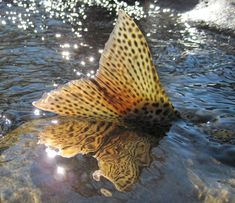 The Truckee Tahoe area has some of the best fly fishing you can find… Trout Fishing, Kayak Fishing, Fishing Tips, Fishing Stuff, Fishing Knots, Truckee River, Fishing Pictures, Beautiful Fish, Gone Fishing