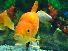 How to Set up a Healthy Goldfish Aquarium-- Goldfish need far more space and care than many people realize. I was one of those people who learned this the hard way. Please set up a tank that is large enough and has proper filtration for your fishy friends. :) This article provides some basic information, but do your research; there's more to it than what is here.   Aloha  (found at wikiHow.com)