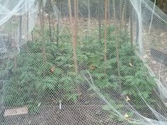 Tomatoes growing fast - may get some before Christmas.