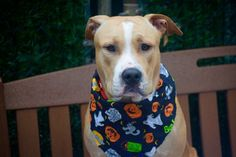 ZEUS aka SPIKE – A1091297  **RETURN 10/17/16**  MALE, BROWN / WHITE, AM PIT BULL TER MIX, 1 yr, 1 mo RETURN – PRE ADOPT, NO HOLD Reason NO TIME Intake condition UNSPECIFIE Intake Date 10/17/2016, From NY 10303, DueOut Date 10/17/2016,